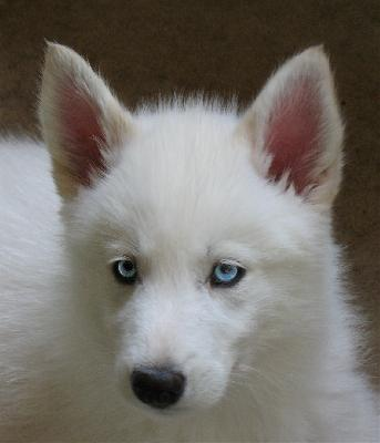 White Wolf Pup With Ice Blue Eyes | www.pixshark.com ...